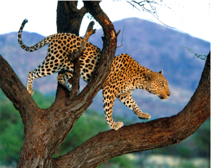Registro Leopardo