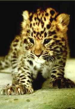 Galería Leopardo